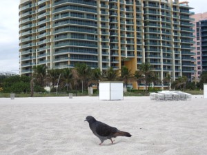 pigeon in miami beach